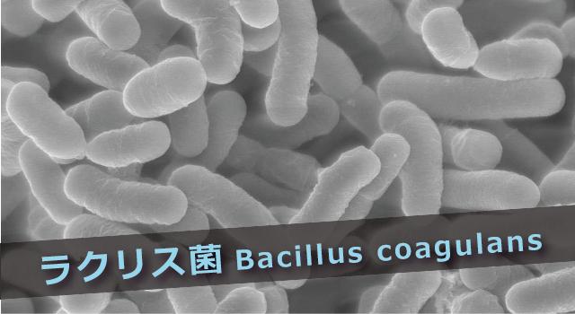 ラクリス菌の効果