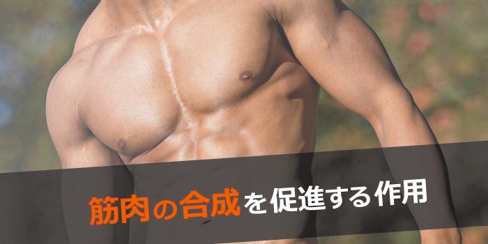 筋肉の合成促進