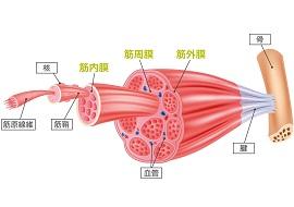 筋膜の画像(画像引用元:トリガーポイント)筋膜の画像(画像引用元:トリガーポイント)