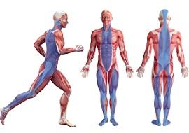筋膜の画像全身タイツ(画像引用元:トリガーポイント)