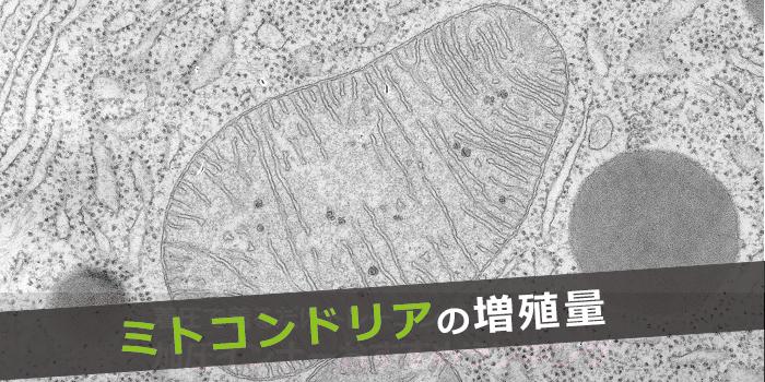 ミトコンドリアの増殖遺伝子